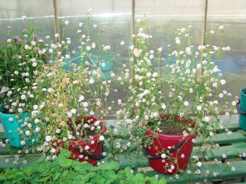 Trifolium_growing_in_a_winter_greenhouse__Minsk_genebank_.JPG