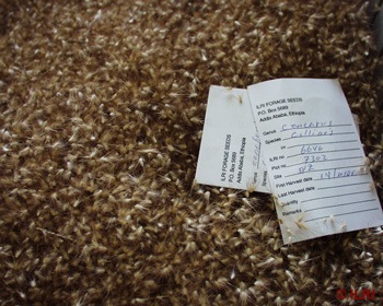 seeds of buffel grass harvested from debra zeit field, with the first labelled information.jpg